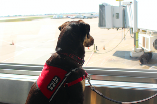 Service dog at the airport